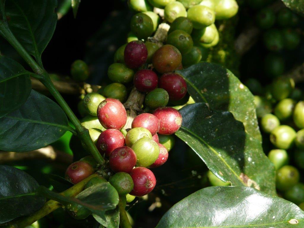 Il caffè è (anche) una questione di geni