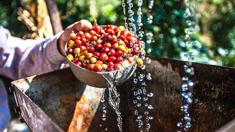 I metodi di lavorazione del caffè